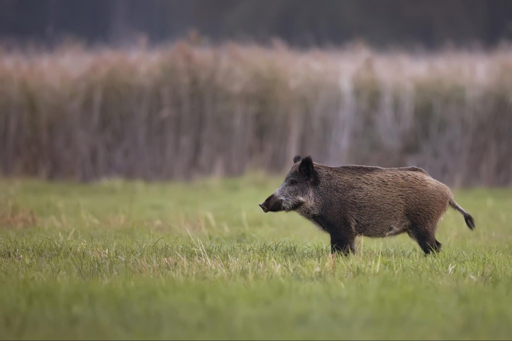 hunting wild boar in california pew pew tactical