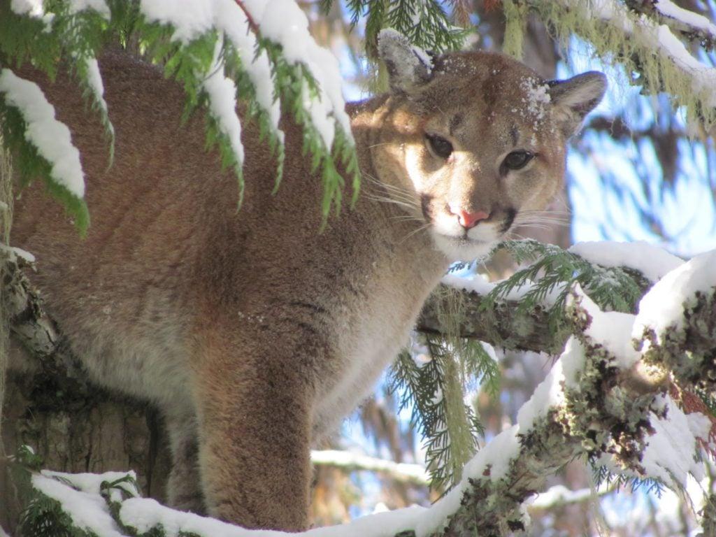 mountain lion in snowy tree
