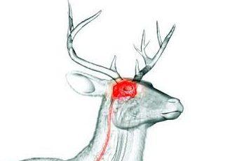 Deer brain