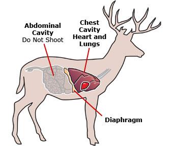 Deer vital areas