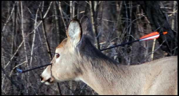 bowshot deer
