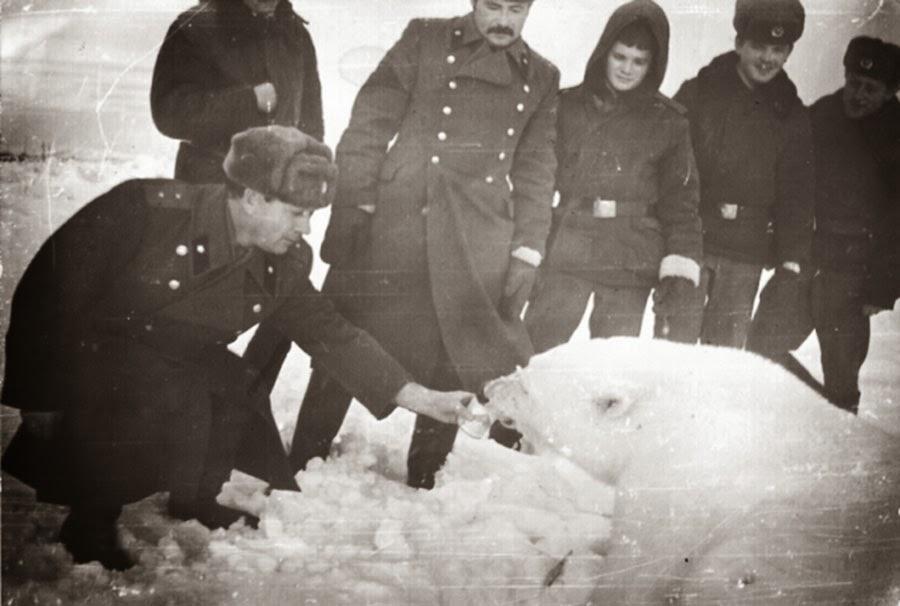 Feeding polar bears from a tank, 1950